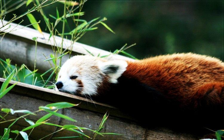 Wallpapers Animals Red pandas Firefox fait bronzette