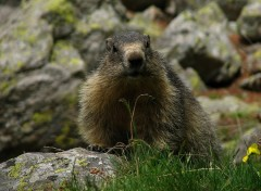 Wallpapers Animals Marmotte dans le Mercantour