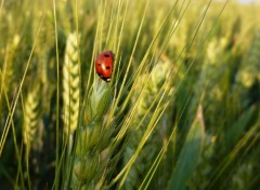 Wallpapers Animals coccinelle dans les champs