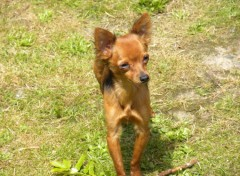 Wallpapers Animals pinscher nain