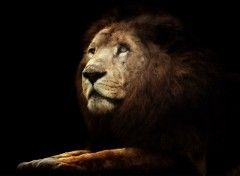 Wallpapers Animals Titan le Lion