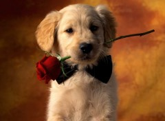 Wallpapers Animals Puppy With Rose
