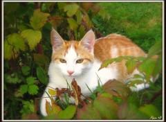 Fonds d'écran Animaux chat roux