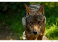 Fonds d'écran Animaux Portrait de Loup . 1
