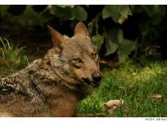 Fonds d'écran Animaux Portrait de Loup . 6