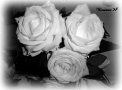 Fonds d'écran Nature Roses blanches...