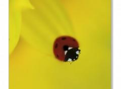 Fonds d'écran Animaux Ladybird