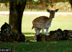 Wallpapers Animals biche ...