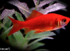 Wallpapers Animals poisson rouge