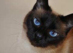 Fonds d'écran Animaux MIAOU LE MINOU ... le chat