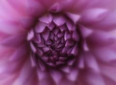 Fonds d'écran Nature Dahlia mauve