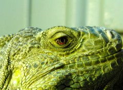 Wallpapers Animals Iguane mâle