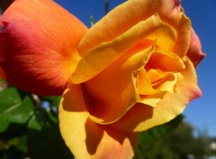 Fonds d'écran Nature Rose orange