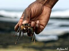 Fonds d'écran Animaux Crabe de l'ile Maurice