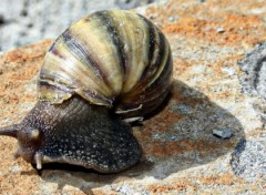 Wallpapers Animals Escargot mauricien!