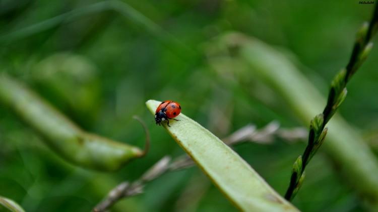 Fonds d'écran Animaux Insectes - Coccinelles PETIT insecte ORANGE ROUGE...