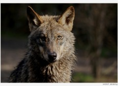 Wallpapers Animals Wolf .4