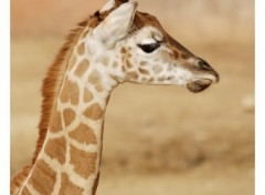 Wallpapers Animals Girafe .2