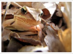 Wallpapers Animals La petite Grenouille