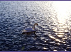 Wallpapers Animals Cygne