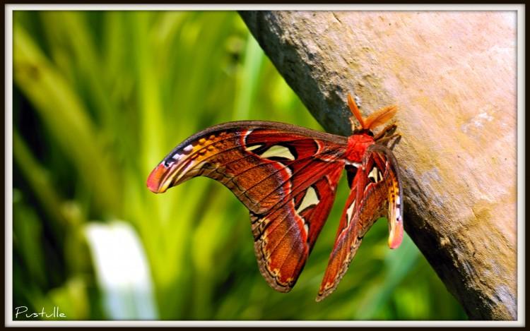 Wallpapers Animals Insects - Butterflies Le plus gros papillon du monde....