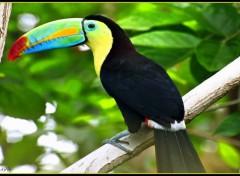 Wallpapers Animals Un toucan