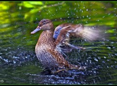 Wallpapers Animals Canard