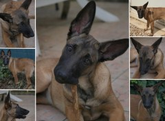 Wallpapers Animals Berger Malinois 4 mois