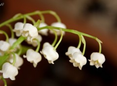 Wallpapers Nature Muguet du 1er mai