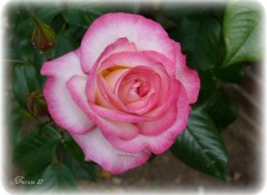 Wallpapers Nature Rose ouverte...