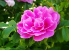 Fonds d'écran Nature Roses pétales