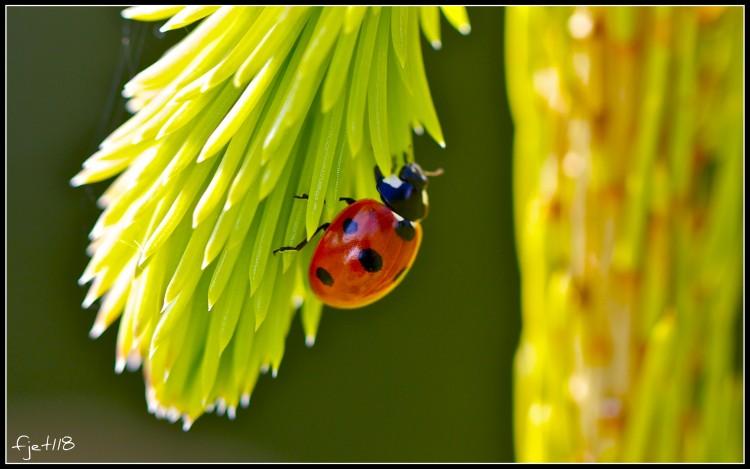 Wallpapers Animals Insects - Ladybugs Coccinelle