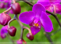 Wallpapers Nature Orchidea 1.