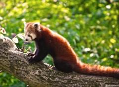 Wallpapers Animals Pandas Roux