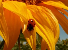 Wallpapers Nature tournesol coccinelle