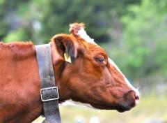 Fonds d'écran Animaux c'est vache