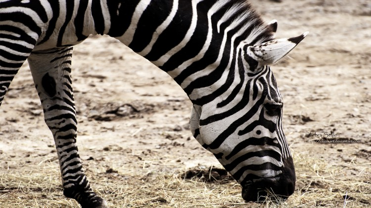 Wallpapers Animals Zebras Zebra