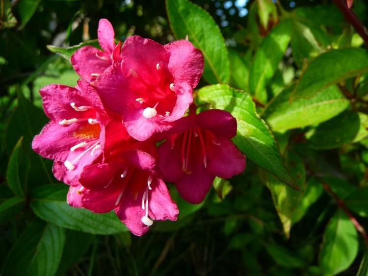 Fonds décran Nature Fleurs Fleurs couleur fushia