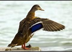 Wallpapers Animals Un canard qui se secoue les plumes