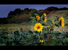 Fonds d'écran Nature Petit soleil - la deuxième génération de cette année.