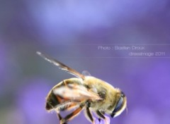 Wallpapers Animals Abeille