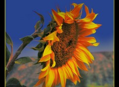Wallpapers Nature Le Feu de Tournesol.