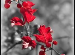 Fonds d'écran Nature en rouge et noire