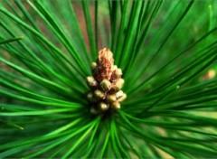 Fonds d'écran Nature Couronne de pin