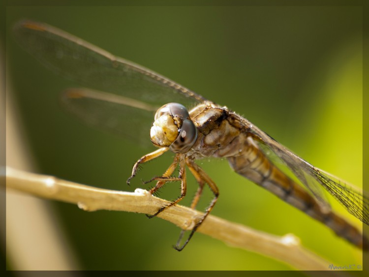 Wallpapers Animals Insects - Dragonflies Libellule IV