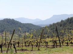 Fonds d'écran Nature Le renouveau de la vigne !
