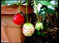 Fonds d'écran Nature Strawberries