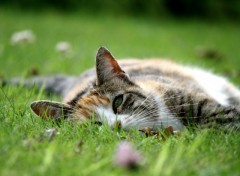 Wallpapers Animals Chat dans l'herbe
