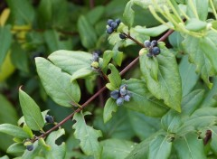 Fonds d'écran Nature Fruits comestibles ?