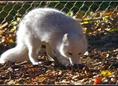 Fonds d'écran Animaux Jeune renard des neiges